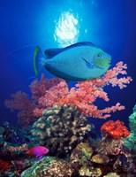 Vlamings unicornfish and Squarespot anthias (Pseudanthias pleurotaenia) with soft corals in the ocean Fine Art Print
