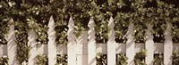 White picket fence surrounded by bushes along Truman Avenue, Key West, Monroe County, Florida, USA Fine Art Print