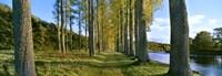 Poplar Treelined at the riverside, River Tweed, Maxton, Newtown St. Boswells, Scotland Fine Art Print