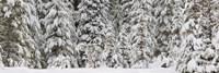 Snow covered pine trees, Deschutes National Forest, Oregon, USA Fine Art Print