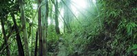 Light through a Bamboo forest, Chiang Mai, Thailand Fine Art Print