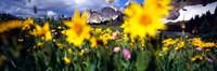 Daisies, Flowers, Field, Mountain Landscape, Snowy Mountain Range, Wyoming, USA, United States Fine Art Print