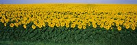 Sunflower Field, Maryland, USA Fine Art Print