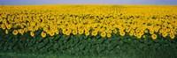 Sunflower Field, Maryland, USA Fine Art Print