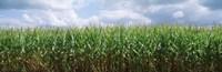 Clouds over a corn field, Christian County, Illinois, USA Fine Art Print