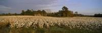 Cotton plants in a field, North Carolina, USA Fine Art Print