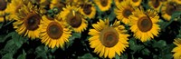 Sunflowers ND USA Fine Art Print