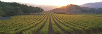 Sunset, Vineyard, Napa Valley, California, USA Fine Art Print