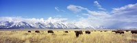 Bison Herd, Grand Teton National Park, Wyoming, USA Framed Print