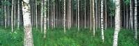 Birch Forest, Punkaharju, Finland Fine Art Print