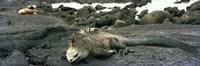Marine Iguana Galapagos Islands Fine Art Print