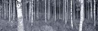 Birch Trees In A Forest, Finland Fine Art Print