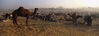 Camels in a fair, Pushkar Camel Fair, Pushkar, Rajasthan, India Fine Art Print