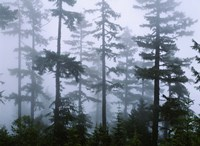 Silhouette of trees with fog, Douglas Fir, Hemlock Tree, Olympic Mountains, Olympic National Park, Washington State, USA Fine Art Print