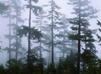 Silhouette of trees with fog, Douglas Fir, Hemlock Tree, Olympic Mountains, Olympic National Park, Washington State, USA Fine Art Print
