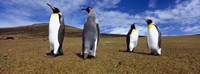 Four King penguins standing on a landscape, Falkland Islands (Aptenodytes patagonicus) Fine Art Print