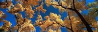 Low angle view of cottonwood tree, Canyon De Chelly, Arizona, USA Fine Art Print