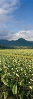 Taro crop in a field, Hanalei Valley, Kauai, Hawaii, USA Fine Art Print