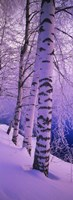 Birch trees at the frozen riverside, Vuoksi River, Imatra, Finland Fine Art Print