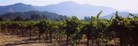 Grape vines in a vineyard, Napa Valley, Napa County, California, USA Fine Art Print