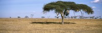 Acacia trees with weaver bird nests, Antelope and Zebras, Serengeti National Park, Tanzania Fine Art Print