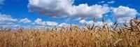 Wheat crop growing in a field, near Edmonton, Alberta, Canada Fine Art Print