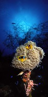 Sea anemone and Allard's anemonefish (Amphiprion allardi) in the ocean Fine Art Print