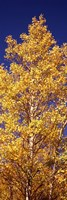Low angle view of aspen trees in autumn, Colorado Fine Art Print
