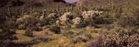 Saguaro cacti (Carnegiea gigantea) on a landscape, Organ Pipe Cactus National Monument, Arizona, USA Fine Art Print