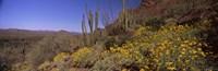 Organ Pipe cactus and yellow wildflowers, Arizona Fine Art Print