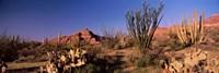 Organ Pipe Cacti, Organ Pipe Cactus National Monument, Arizona, USA Fine Art Print