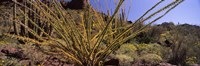 Plants on a landscape, Organ Pipe Cactus National Monument, Arizona (horizontal) Fine Art Print