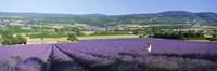 Woman in a field of lavender near Villars in Provence, France Fine Art Print