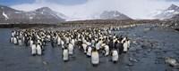 King penguins colony, St Andrews Bay, South Georgia Island Fine Art Print