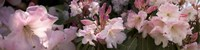 Multiple images of pink Rhododendron flowers Fine Art Print