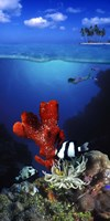 Underwater view of sea anemone and Humbug fish and Pufferfish with a scuba diver Fine Art Print