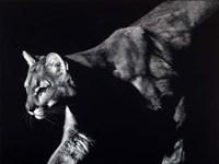 Prowler Fine Art Print