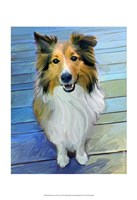 Sheltie the Eyes Have it Fine Art Print