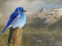 Mountain Blue Bird Fine Art Print