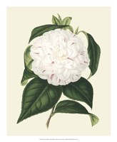 Antique Camellia I Framed Print