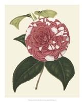 Antique Camellia II Framed Print