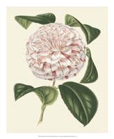 Antique Camellia III Framed Print