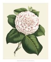 Antique Camellia IV Fine Art Print