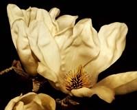 Buttercream Magnolia II Framed Print
