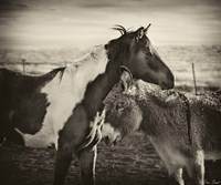 Kissing Horses II Fine Art Print