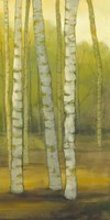 Sunny Birch Grove II Fine Art Print