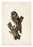 Tengmalm's Owl Fine Art Print