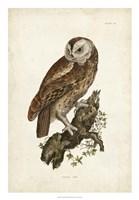 Tawny Owl Fine Art Print