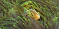 Close-up of a Skunk Anemone fish and Indian Bulb Anemone Fine Art Print