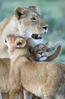 Close-up of a lioness and her two cubs, Ngorongoro Crater, Ngorongoro Conservation Area, Tanzania (Panthera leo) Fine Art Print
